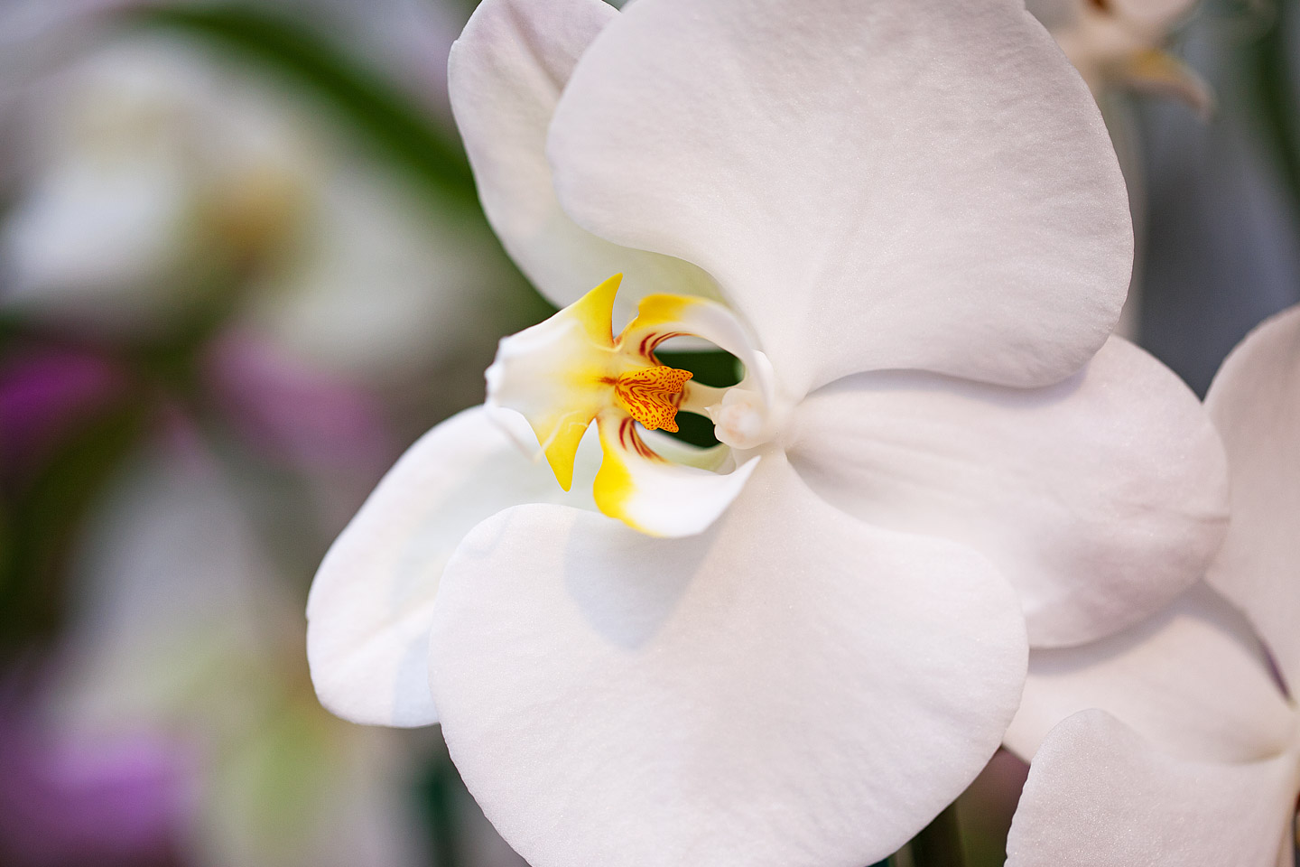 a close-up of a single beautiful white phalaenopsis orchid at the antons branch