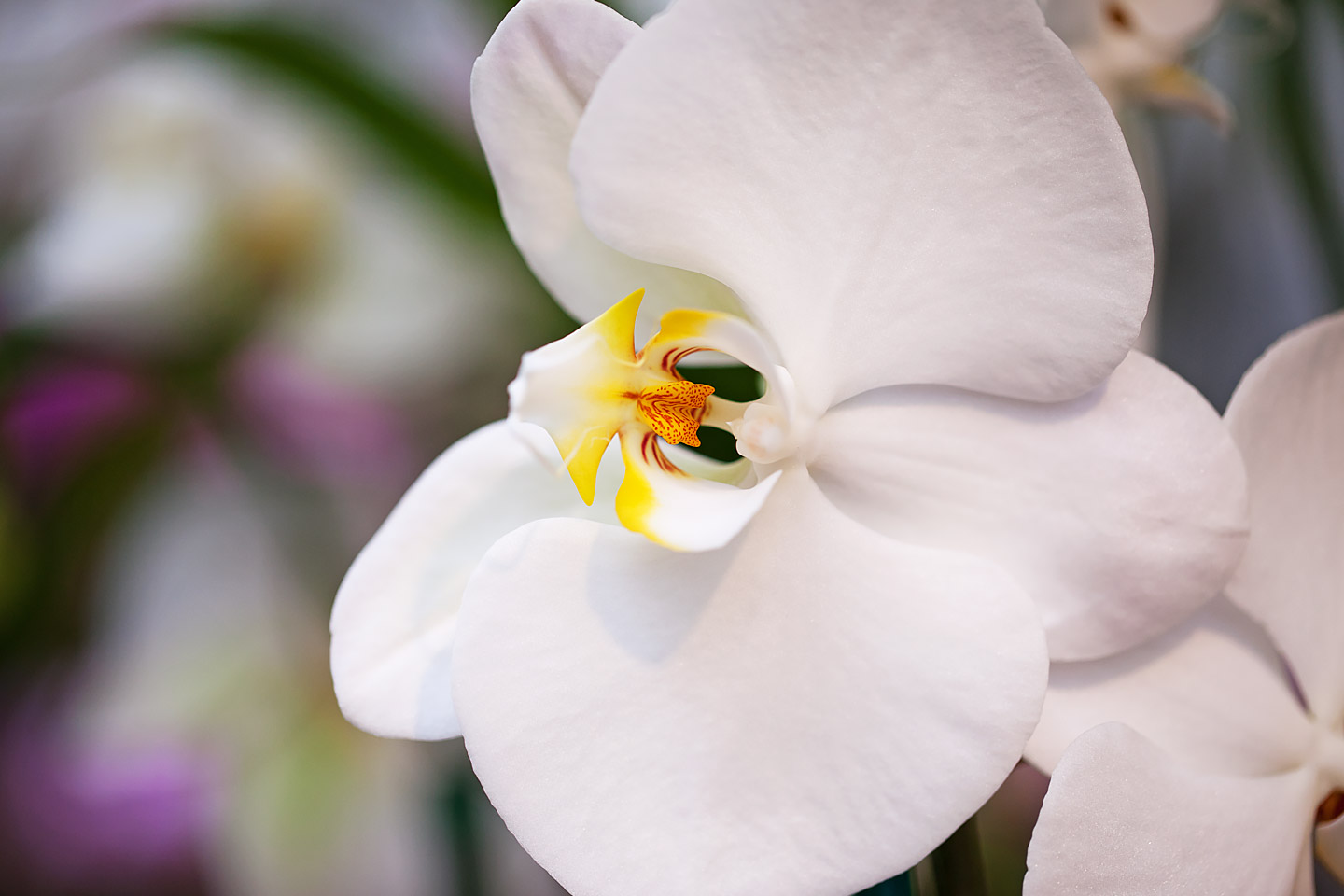 a close-up of a beautiful white phalaenopsis orchid, photographed by Jacob Rosenfeld
